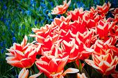 Red And White Tulips With Small Blue Flowers In Background