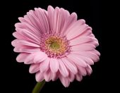 Pink Gerbera Flower On Black