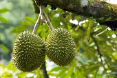 image of spiky plants  - Fresh durian in the orchard - JPG