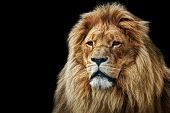 stock photo of endangered species  - Lion portrait on black background - JPG