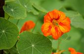 stock photo of nasturtium  - Bright orange nasturtium flowers and leaves in summer - JPG