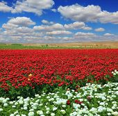 White garden buttercups are combined with bright red flowers ranunculus. Cumulus clouds float across the sky. Boundless rural field with flowers