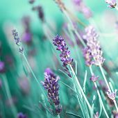 stock photo of lavender field  - Field of lavender flower closeup on blurred background - JPG