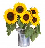 Sunflowers in a water can isolated on white background