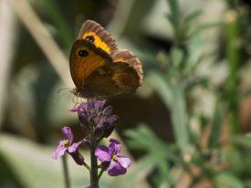 image of gatekeeper  - Telephoto portrait of a Gatekeeper Butterfly alighted on flower - JPG