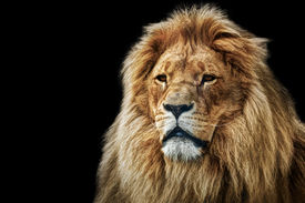 stock photo of lions-head  - Lion portrait on black background - JPG