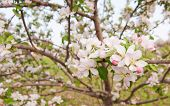 Closeup of a blooming apple tree in spring