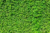 image of ivy vine  - Green ivy plant on wall - JPG