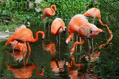 The flock of pink flamingo in the water