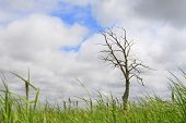 Lonely Dry Tree, Cloudy Sky, Grass At Bottom