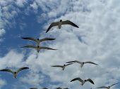 Seagulls In Flight 3