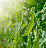 stock photo of green pea  - Green peas growing on the farm - JPG