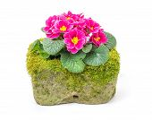 Red primrose in a mossy flower trough