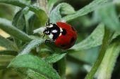 Ladybug Crawls