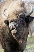 Portrait Of A Wild European Bison