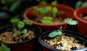 Small Mimosa