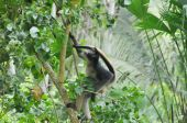 Amazonian spider monkey in the wild climbing a tree and looking on