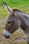 stock photo of buckskin  - Close up of a buckskin color donkey at a local farm - JPG