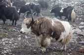 image of yaks  - Himalayan Yaks In Herd, Nepal, Tibet, mountain,