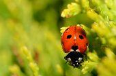 Ladybug With Raindrops