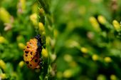 Young Ladybug Crawler