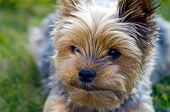 The Face of a Yorkie Dog