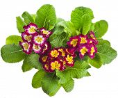 blooming primrose primula polyanthus isolated on white