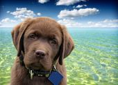 close up of a labrador retriever with ocean and blue sky as background