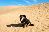 Sand Dune Desert and Dog