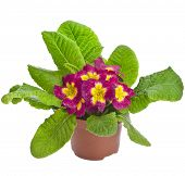 Spring flower primrose primula  in flowerpot isolated on white