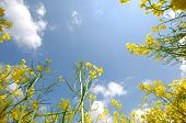Yellow rape and blue and cloudy sky.