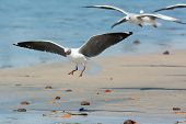 Grey-headed Gull Landing On The Beach