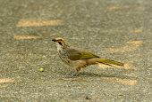 stock photo of bulbul  - beautiful Straw - JPG