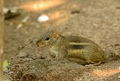 Indochinese Ground Squirrel (menetes Berdmorei)