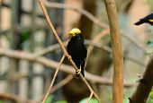 Male Golden-crested Myna (ampeliceps Coronatus)