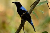 Male Asian Fairy Bluebird (irena Puella)