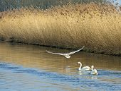 Swans flying and swimming in a river