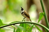 picture of bulbul  - beautiful Red - JPG