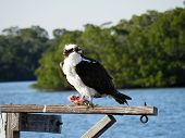 image of osprey  - An Osprey enjoying a fresh fish dinner - JPG