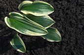 Leaves Of Hosta On The Background Of The Ground