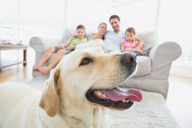 picture of labrador  - Happy family sitting on couch with their pet yellow labrador in foreground at home in the living room - JPG