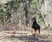 picture of doberman pinscher  - doberman pinscher running in the woods - JPG