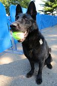 Belgian Shepherd K-9 Taylor providing security at National Tennis Center during US Open 2014