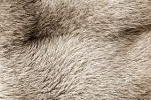 Texture From Fur Of Sepia Color
