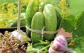 preparing cucumbers for pickling