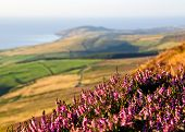 Blooming Purple Heather, Fields, Sea. Isle Of Man