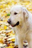 Portrait Of Golden Labrador Retriever In Autumn
