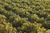 Mediterranean Vineyards At Sunset In Crete. Greece
