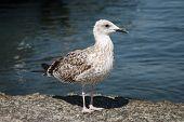 Big Grey Seagull