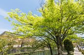 Emerald green cherry trees next to the stream beside the Kyoto Municipal Museum of Art in Kyoto.